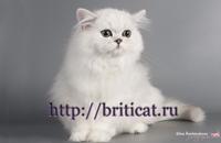 персидский котенок продажа
