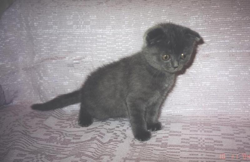 Шотландский вислоухий голубой кот ...: briticat.ru/cats4/stepa1.html